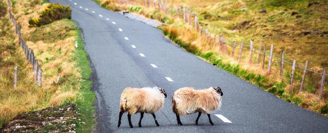 Dippy Sheep